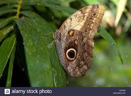 In der Nähe von einem wunderschönen tropischen Eule Schmetterling, Caligo  memnon, in zarten Schattierungen von Blau und Creme, mit dem  charakteristischen Auge Fleck auf seiner unteren Stockfotografie - Alamy