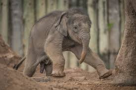 Chester Zoo reveals name of new baby elephant - Cheshire Live