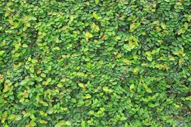 Wall Covered With Green Climbing Plants Stock Photo Picture And Wall Climbing Plants