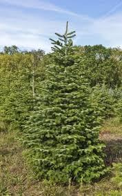 Live Christmas Tree Types  Christmas Lights DecorationTypes Of Fir Christmas Trees