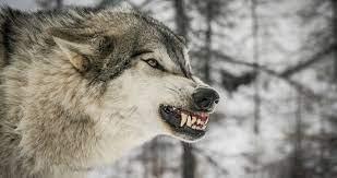 anger wolf face 4k ultra hd wallpaper ...