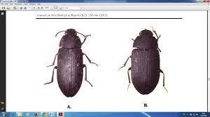 การเฝ้าระวังการแพร่ระบาดของแมลงกระเบื้อง ใน