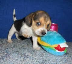 pocket beagle puppy new liter for