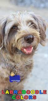 Labradoodle Color Chart Labradoodle Colors All Possible Colors For This Popular