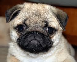 really cute pug puppies. Beautiful Pug Adorable Pug Puppy Vid In Really Cute Pug Puppies P