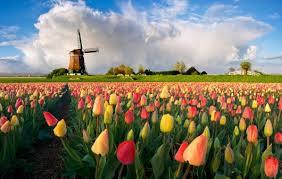 Znalezione obrazy dla zapytania tulipany w holandii
