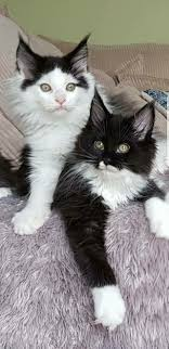 Pin Van Sherida Luck Op Dieren Cats Maine Coon Kittens En Cute Cats