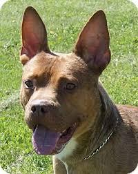 bull terrier bulldog mix. Contemporary Bulldog Adopted Intended Bull Terrier Bulldog Mix