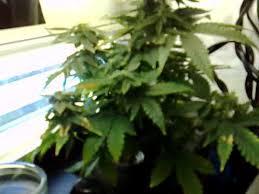aerogarden weed harvest. aerogarden weed harvest