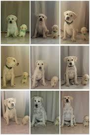 Labrador Retriever Puppy Weight Chart My Cute Labrador Retriever Growth Chart In 9 Weeks