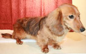 miniature dachshund breeders of red longhair puppies in al ak az ar