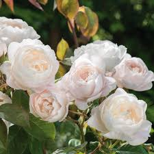 1638 Best Roses Images On Pinterest  Beautiful Roses Climbing Fragrant Rose Plants