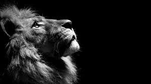 lion black and white jpg