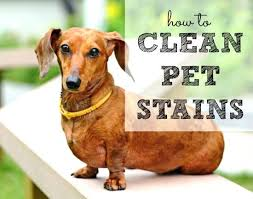 clean dog urine from rug cleaning dog from rug how to clean pet stains housewife clean dog urine from rug how