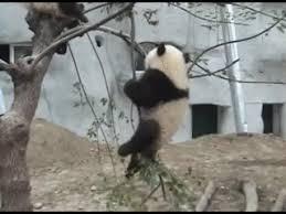 baby panda gif. Brilliant Panda Baby Panda GIF On Gif
