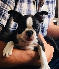 kc boston terrier puppies ...