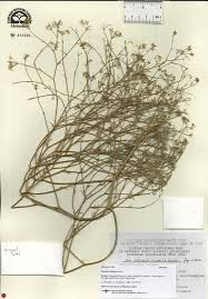Flora del Noroeste dé México - Falcaria vulgaris