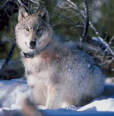 grey wolf size grey wolf