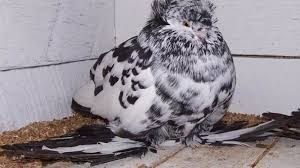 Roller Pigeon Color Chart 9 Bizarre And Beautiful Fancy Pigeons Mental Floss