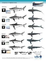 Shark Identification Pesquisa Do Google Types Of Sharks