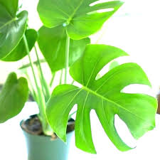 long leaf house plants winning with big leaves large garden ideas tropical round indoor split philodendron