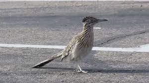 Greater Roadrunner bird running in for ...