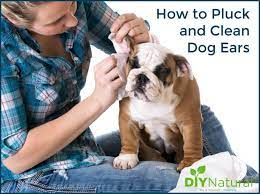 how to clean dog ears removing the