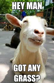 funny goat hey man