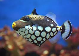 clown triggerfish.  Triggerfish Clown Trigger  In Triggerfish I