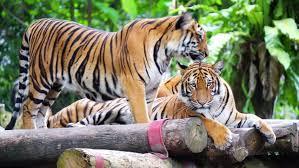 tiger images hd के लिए इमेज परिणाम