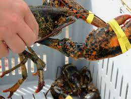 Fresh Live Maine Lobster 1.25lb.ea ...