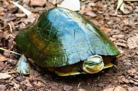 Asian Box Turtles Box Turtles