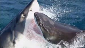 great white shark attack. Fine Attack A Still From The Video Of Moment Great White Sharks Do Battle Photo On Great White Shark Attack