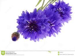beautiful purple and white flowers. Plain Purple Pretty Purple Flowers On White And Beautiful Purple White Flowers W