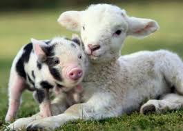 real baby farm animals. Delighful Baby Piglet And Lamb  Baby Farm Animals Wallpaper Throughout Real S
