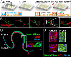 Renal Reabsorption In 3d Vascularized Proximal Tubule Models