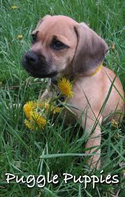 black and tan puggle. Interesting And The Puggle  A Pug Beagle Mix With Black And Tan