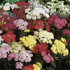 yarrow achillea millefolium summer pastels mix seeds 100 seeds perennial freshest heirloom