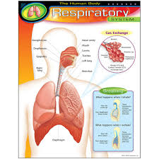 The Human Body Respiratory System Learning Chart
