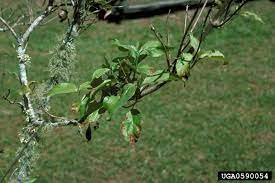 are your dogwoods in decline uf ifas