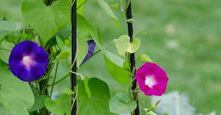 Gardening Australia  Plant Profile TrachelospermumWall Climbing Plants India