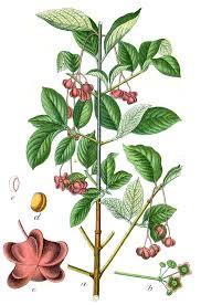 File:Euonymus latifolius Sturm21.jpg - Wikimedia Commons