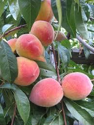 Whenu0027s A Good Time To Prune Fruit Trees In Calgary  Fivestar Prune Fruit Tree