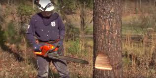 tree cutting techniques learn how to fell a tree using a chainsaw