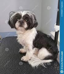 Black And White Shih Tzu Dog On ...