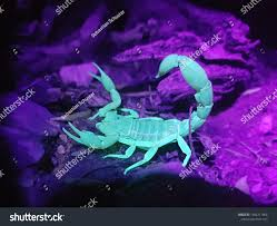 Why Do Scorpions Glow Under Uv Light Striped Scorpion Glowing Under Uv Light Stock Photo Edit
