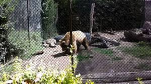 The zoo is located about 30km south of the city and easy to reach. Buin Zoo Oso Pardo Youtube