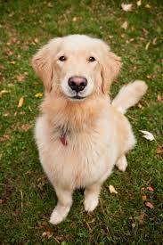 golden retriever. Brilliant Retriever Golden Retriever Dogs And Puppies On D