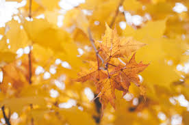 Yellow Oak Leaf Close Up Photography Free Stock Photo