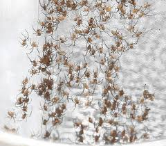how to kill spiders in house. In The Wild They Would Also Eat Each Other But There Be Tiny Insects For Them To Too. I Never Mind Spiders House Because I\u0027d Rather Have How Kill